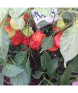 BILLY GOAT ,20 SEMILLAS,SEEDS,Capsicum chinense ,cosecha propia(80) - $2.33