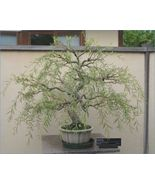 Bonsai Dragon Willow Tree - Large Thick Trunk - One Live Tree - $40.92