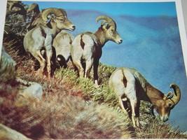 Vintage California Bighorn Sheep Photographic print Photograph Galen Row... - $7.24