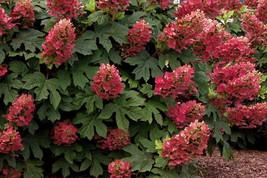 RUBY SLIPPERS Oakleaf  Hydrangea shrub image 1