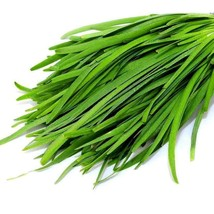 SHIP FROM US 1,500 Garlic Chive Herb Seeds - Garden or Microgreens, ZG09 - $19.16