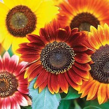 MAMMOTH sunflower AUTUMN BEAUTY 1 oz seeds - $19.99