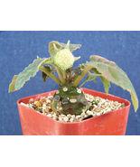 """SHIP From US, 2"""" pot Dorstenia foetida, succulent plant cacti ECC - $29.88"""