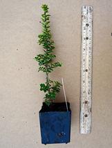 "2"" live plant Dwarf Japanese Holly - Ilex crenata 'Dwarf Pagoda' - bare ... - $28.45"