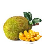 Big Promotion Jackfruit Seeds Fruit Organic Tropical Fruit Seeds - Buy 1... - $14.00