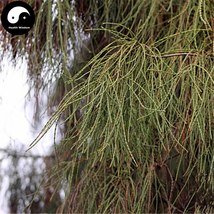 Buy Line Cypress Tree Seeds 60pcs Plant Chamaecyparis Pisifera Filifera - $5.99