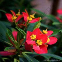 Rare Euphorbia Punicea Jamaican Poinsettia Xeriscaping Pre Bonsai Seed 5 Seeds - $24.00