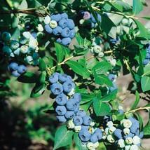 1 Plant Chandler Blueberry Bush Edible Berry Hardy Perennial Gallon Pot FREESHIP - $81.00
