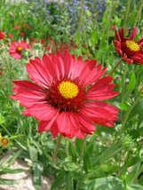 SHIP FROM US 50 BURGUNDY GAILLARDIA Red Indian Blanket Flower Seeds SBR4 - $12.00