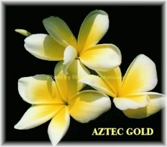 Aztec Gold 2-tip Rare & Exotic fragrant Hawaiian Plumeria Frangipani cutting - $15.00