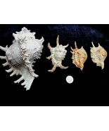 """Lot of 4 Spider Horse Conch Murex Seashells Shell 7"""" and smaller FREE SH... - $18.76"""