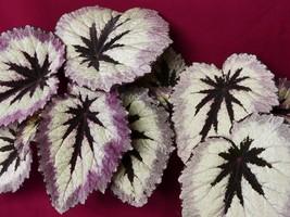 "Begonia Plant Harmony's Fire Woman LARGE 6"" Pot Rex Rhizomatous - €14,01 EUR"