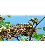 """ 100 PCS seeds Rare Japanese Raisin Tree Seeds, Hovenia Dulcis GIM "" - $23.98"