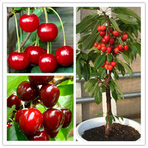 20 Pcs/Bag Cherry Seeds Home Indoor Fruit Bonsai Dwarf Cherry Tree See... - $10.47