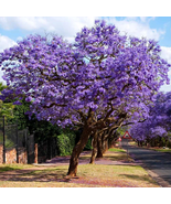 "2-5"" Tall Potted Plant Beautiful Flowering Starter Blue Jacaranda Tree  - $94.99"