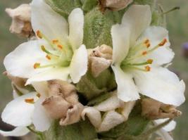 100 Pcs Seeds Blattaria Albiflorum Mullein White Blush Verbascum Flower ... - $16.00