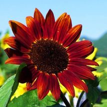 20 Fortune Sunflower Seeds Decorate Bloom Garden Beautiful Flower Seeds S065 - $13.58