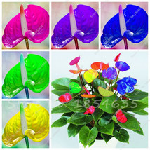 100 Pcs Rare Mixzed Color Anthurium Seeds Balcony Potted Plant Bonsai Fl... - $8.18