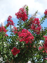 1 Plant Tonto Red Crape Myrtle Potted Plant in a 1 Gallon Pot - $66.99