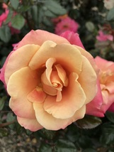 Floribunda Rose Bush Starter Plant - Polynesian Punch - Ships Without Pot - $70.00