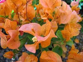 Bougainvillea - 'Rainbow Gold' live plant - GrayStR - $26.75