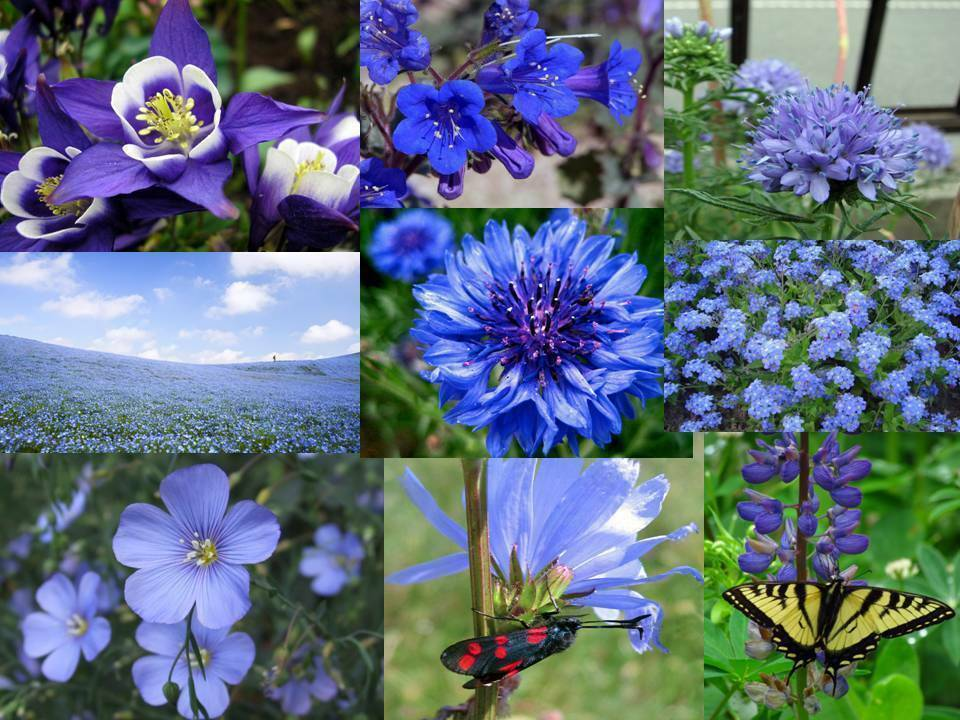 Primary image for SHIP FROM US 400,000 ALL Blue Wildflower Mix Seeds, ZG09