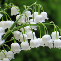 50 Heirloom White Lily of the Valley Convallaria majalis Perennial Flowe... - £9.07 GBP