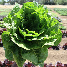 SHIP FROM US PARRIS ISLAND COS LETTUCE SEEDS - 2 Lb SEEDS - NON-GMO, FAR... - $111.96
