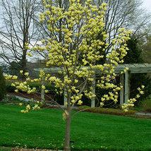 Yellow Bird Magnolia image 5