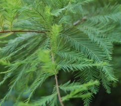 BALD CYPRESS TREE quart pot (Taxodiun distichun) image 3