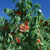 1 Seed Erly Red Sweet Peach Fruit Seeds, DIY Beautiful Tree DO - $8.99