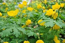 20 CELANDINE yellow POPPY bulb (Stylophorum eiphyllym image 1