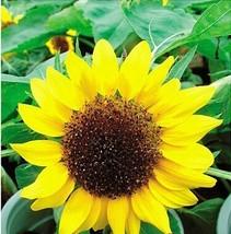Best Price 15 Seeds Bonsai Short Sunflower,Diy Flower Seeds A033 Dg - $4.99