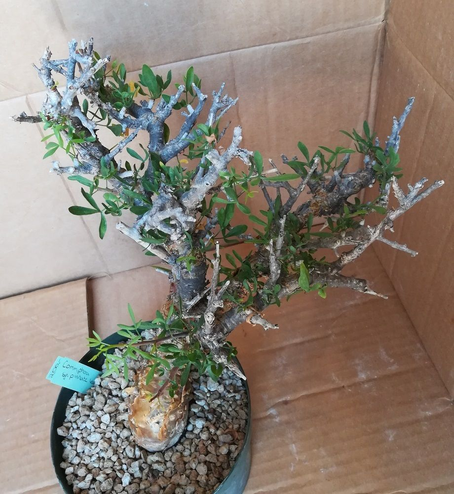 Commiphera foliacea Excellent Stunted Fat Trunk Bonsai Display 68