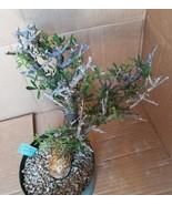 Commiphera foliacea Excellent Stunted Fat Trunk Bonsai Display 68 - $346.45
