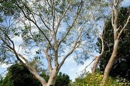 Eucalyptus coccifera - Tasmanischer Schneegummi - 60 Samen - $2.28
