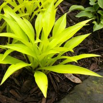 "1 Live Potted Plant hosta MUNCHKIN FIRE mini gold yellow 2.5"" pot #tkok - $29.99"