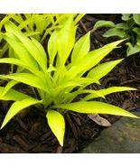 "1 Live Potted Plant hosta MUNCHKIN FIRE mini gold yellow 2.5"" pot #tkok - £23.14 GBP"