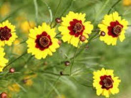 100 Seeds Coreopsis Dwarf Plains, DIY Decorative Plant Seeds SPM02 - $6.99