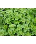 Non GMO Oregano - 250 Seeds - $7.99