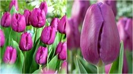 28 New Purple Prince Tulip Florist Cut Flower Bulbs Spring Blooms Bulb W... - $39.99