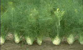 Fennel Vegetable Seeds 10 Herb Seeds Ready To Plant In Your Garden - $1.99