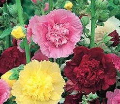 2 Variety Very Graceful Hollyhock Summer Carnival Mix Fresh Seeds #TLM1 - $15.99+