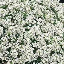 Non GMO Alyssum, Carpet of Snow Flower Seeds Lobularia maritima (25 Lbs) - $1,089.94