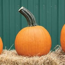 Pumpkin Seeds - Wolf - Vegetable - Outdoor Living - Plant Seeds - Free Shippng - $34.99+