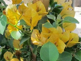 Live plant - Bougainvillea - 'California Gold' - Outdoor Living - tkgg - $34.99