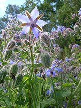 50 Seeds Herb - Borage - $19.78