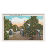 Picking Oranges Grove Orchard Florida 1920c postcard - $5.94