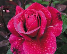 50pcs Very Elegant Large Red Rose Flower Seeds, Rare Fragrant Rose IMA1 - $15.90