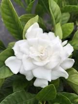 Live 5-gallon Plant Gardenia - $37.05